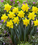SOLD OUT Golden Harvest Trumpet Daffodil - 10 bulbs