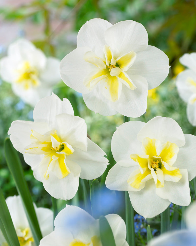 Lemon Beauty Split Cup Daffodil - 10 bulbs