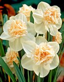 Rosy Cloud Double Daffodil - 10 bulbs