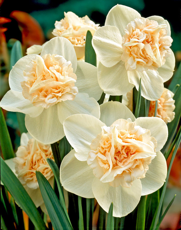 SOLD OUT Rosy Cloud Double Daffodil - 10 bulbs