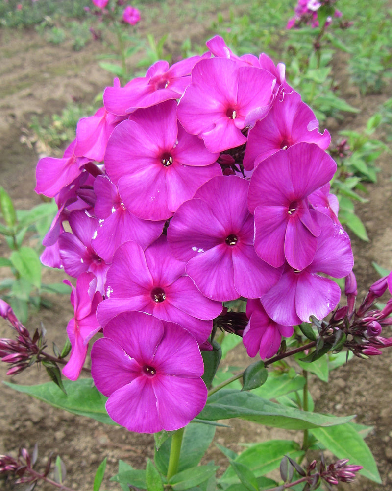 Nicky Tall Summer Phlox - 3 root divisions