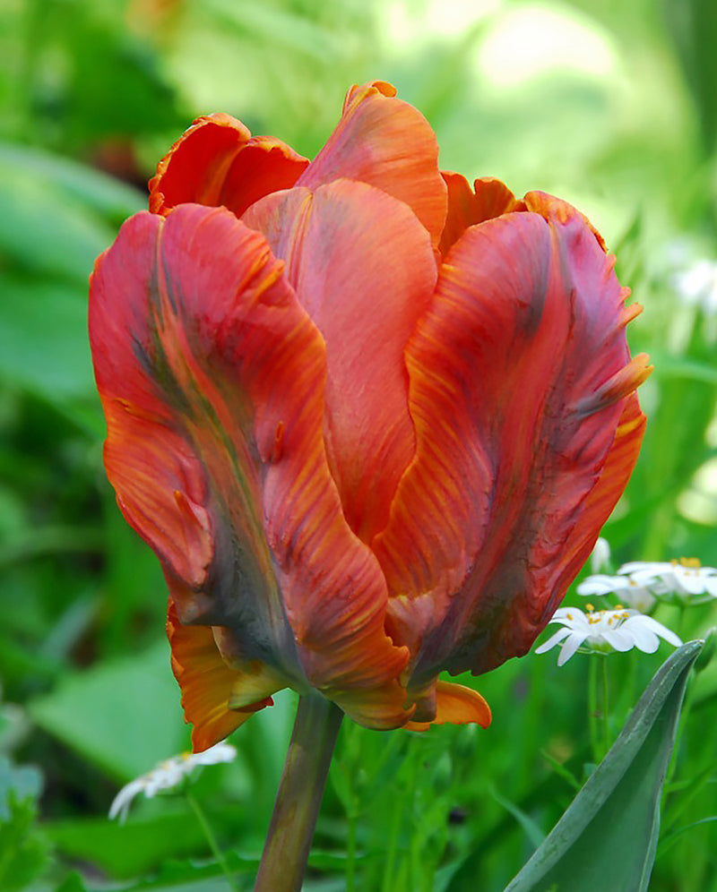 Orange Favourite Parrot Tulip - 10 bulbs