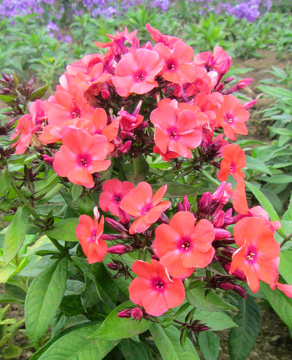 Orange Perfection Tall Summer Phlox - 3 root divisions