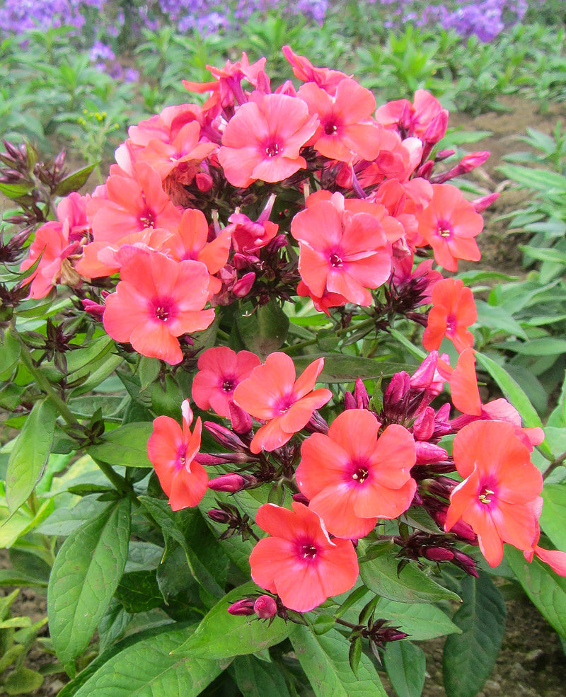 SOLD OUT Orange Perfection Tall Summer Phlox - 3 root divisions