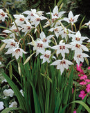 Orchid Glads - 16 bulbs