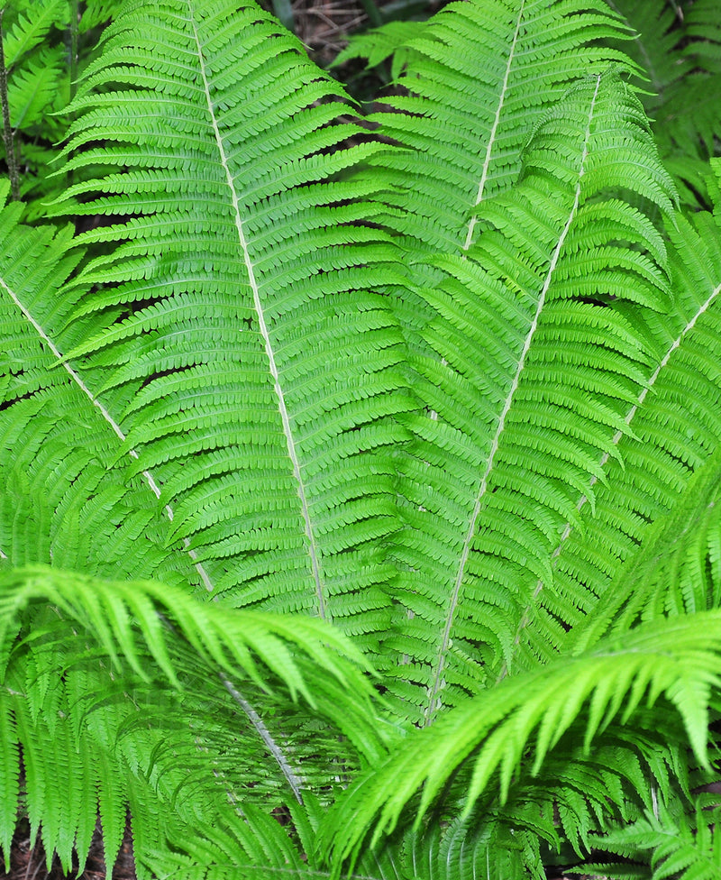 Ostrich Fern - 3 root divisions
