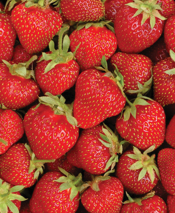 Ozark Beauty Everbearer Strawberry - 10 root divisions