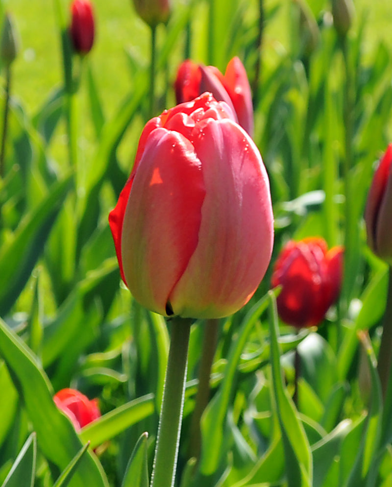 SOLD OUT Parade Darwin Hybrid Tulip - 10 bulbs