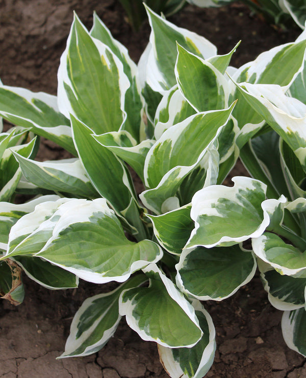 Patriot Hosta - 3 root divisions