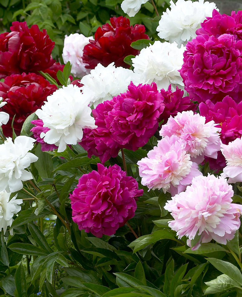 Mixed Peonies - 5 root divisions