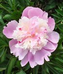 SOLD OUT Emily Debatene Peony - 1 root division