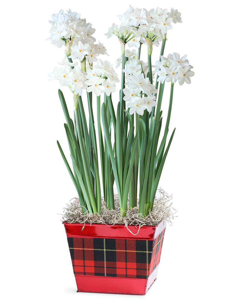 SOLD OUT Petite Paperwhites Bulb Gift