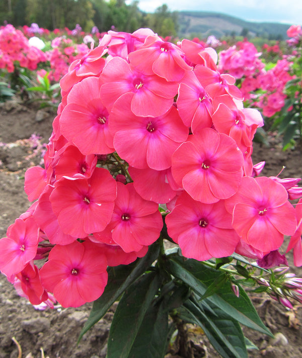 Coral Flame Tall Summer Phlox- 3 root divisions