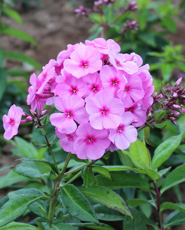 Pink Flame Tall Summer Phlox- 3 root divisions