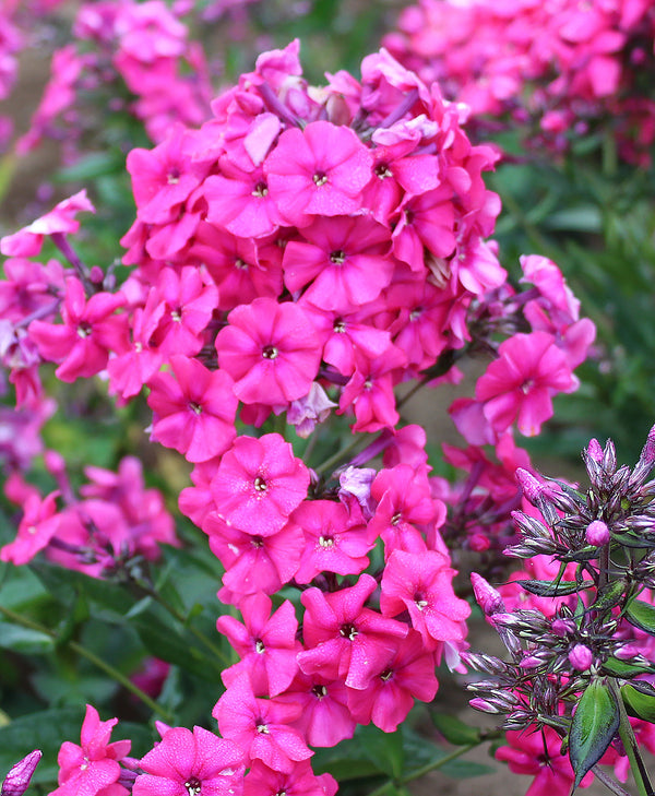 Red Riding Hood Tall Summer Phlox- 3 root divisions