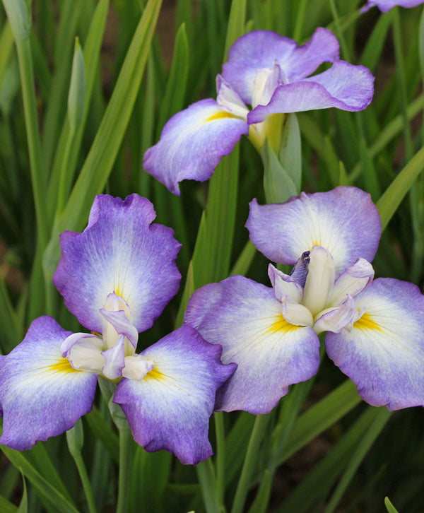 SOLD OUT Picotee Wonder Japanese Iris - 3 root divisions