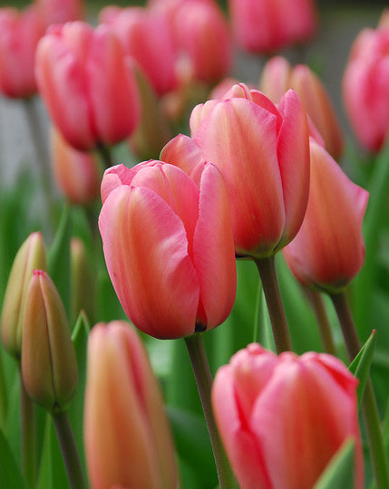 SOLD OUT Pink Impression Darwin Hybrid Tulip - 10 bulbs
