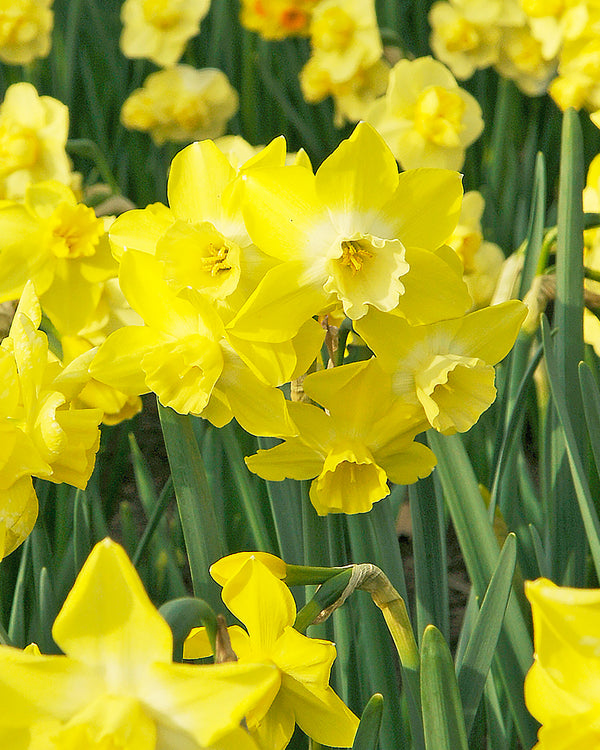 SOLD OUT Pipit Jonquilla Daffodil - 10 bulbs