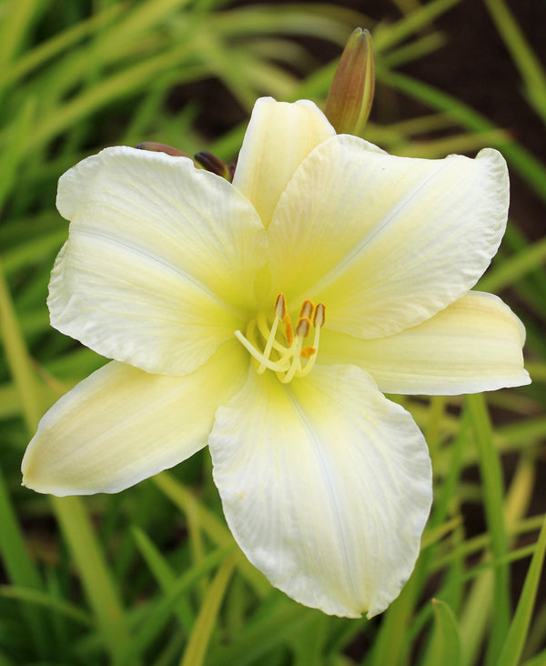 Purely Daylily - 3 root divisions
