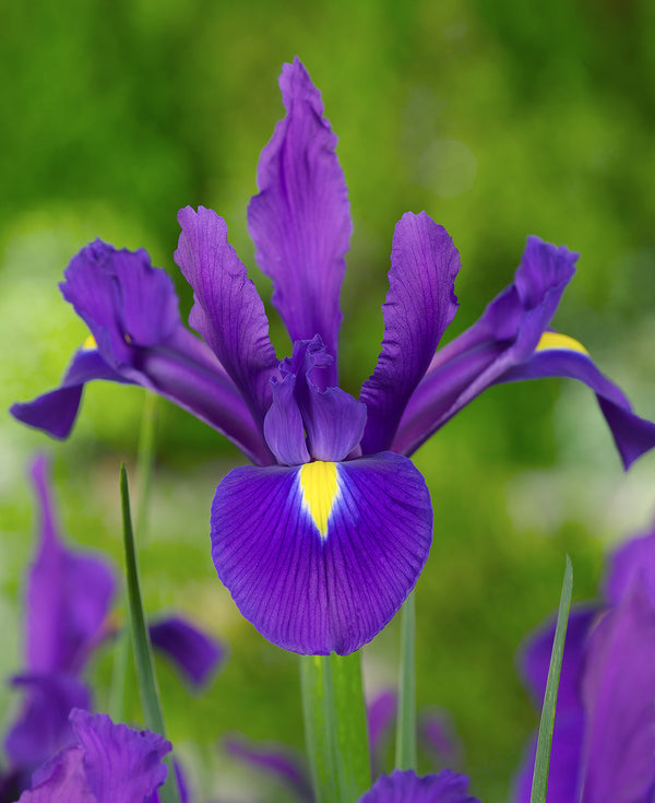 SOLD OUT Purple Sensation Dutch Iris - 10 bulbs