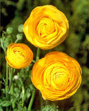 SOLD OUT Gold Tecolote® Ranunculus - 10 bulbs