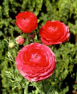 SOLD OUT Rose Tecolote® Ranunculus - 10 bulbs