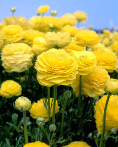 SOLD OUT Yellow Tecolote® Ranunculus - 10 bulbs
