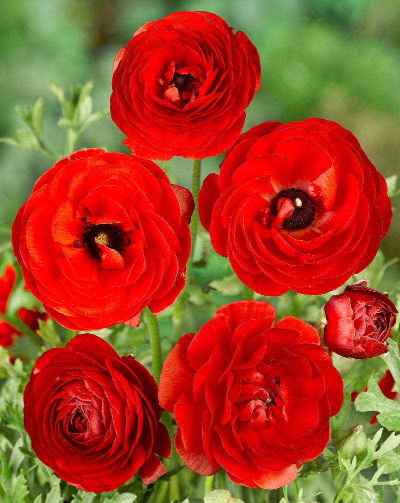 SOLD OUT Red Tecolote® Ranunculus - 10 bulbs