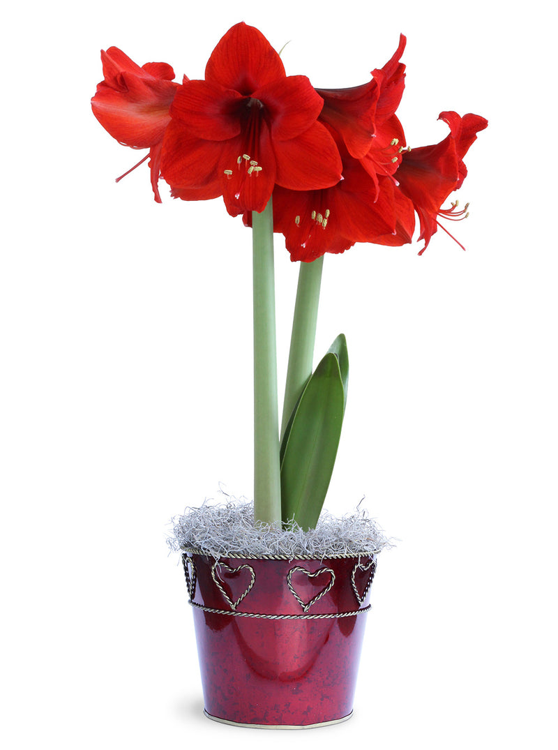Red Amaryllis in Red Tin Indoor Garden