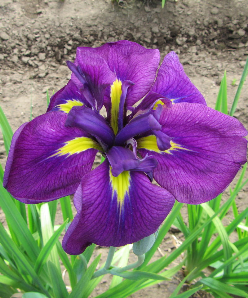 Royal Robes Japanese Iris - 3 root divisions