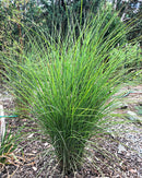 Silberfeder Silver Feather Grass - 3 bareroot plants