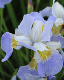 SOLD OUT Sky Wings Siberian Iris - 3 root divisions