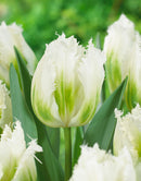 SOLD OUT Snow Valley Fringed Tulip - 10 bulbs