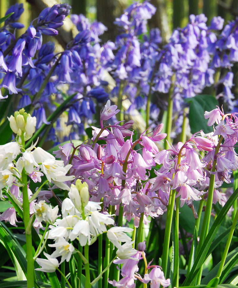 SOLD OUT Mixed Spanish Bluebells - 25 bulbs