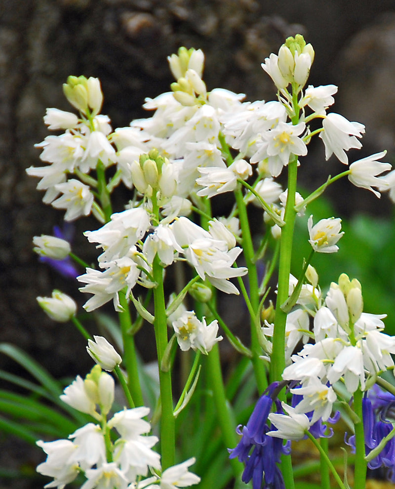 SOLD OUT White City Spanish Bluebells - 25 bulbs