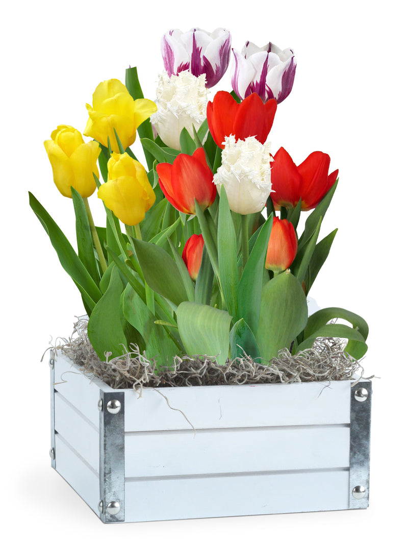 SOLD OUT Springtime Tulips Bulb Gift