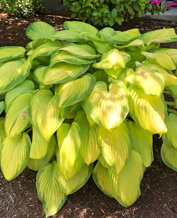 SOLD OUT Stained Glass Hosta - 3 root divisions