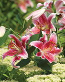 SOLD OUT Stargazer Lilies - 3 bulbs