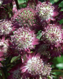 SOLD OUT Star of Beauty Astrantia - 3 root divisions