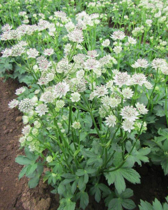 SOLD OUT Star of Billions Astrantia - 3 root divisions