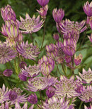 Star of Royals Astrantia - 3 root divisions