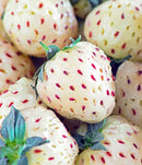 SOLD OUT White Carolina Pineberry - 10 root divisions