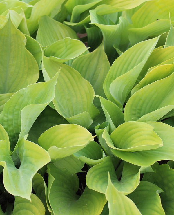 SOLD OUT Sum & Substance Hosta - 3 root divisions