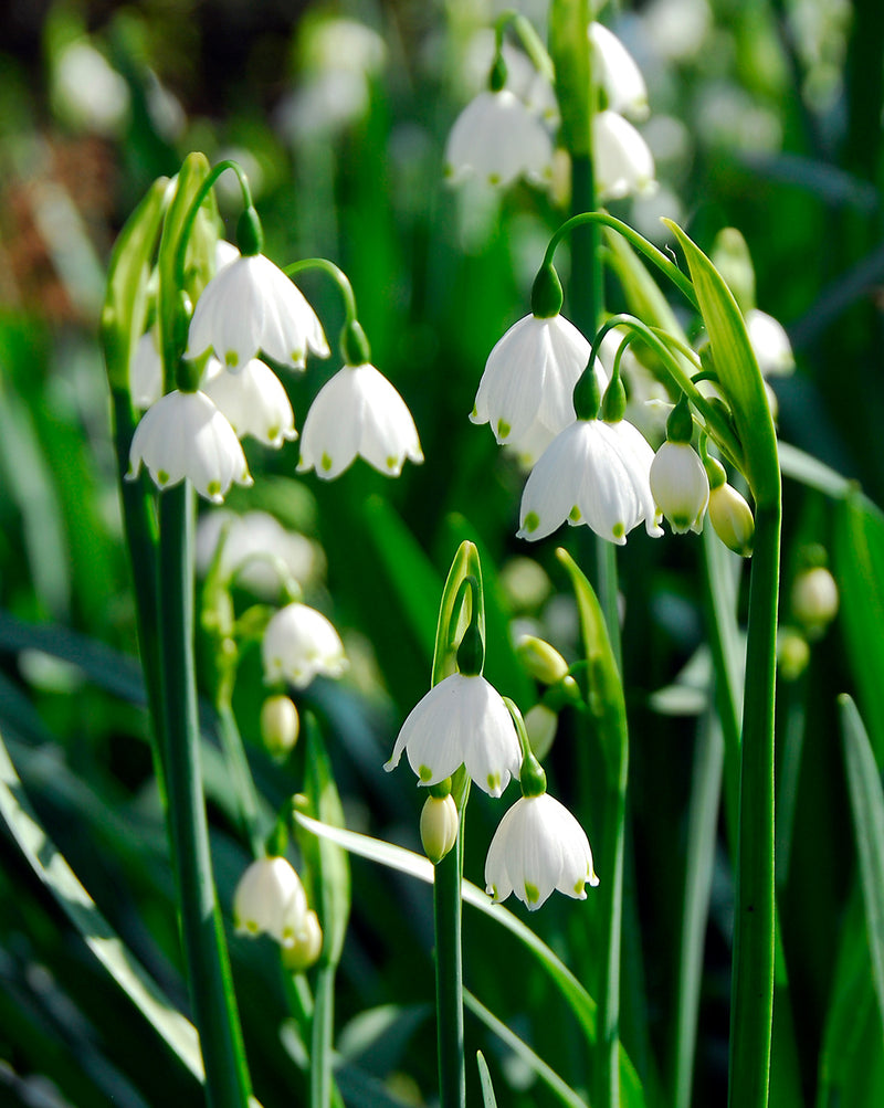 SOLD OUT Summer Snowflake Leucojum - 25 bulbs