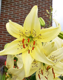 SOLD OUT Sweet Surrender Tiger Lily - 5 bulbs