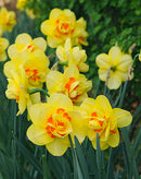 SOLD OUT Tahiti Double Daffodil - 10 bulbs
