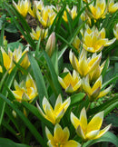 SOLD OUT Tarda Species Tulip - 10 bulbs