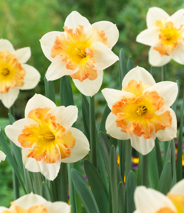 SOLD OUT Taurus Split Cup Daffodil - 10 bulbs