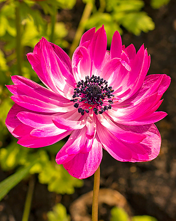 SOLD OUT The Admiral Anemone Coronaria - 25 bulbs
