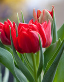 Abba Double Early Tulip - 10 bulbs